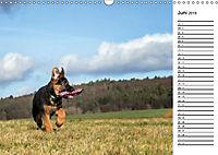 Schäferhund Yack wird erwachsenCH-Version (Wandkalender 2019 DIN A3 quer) - Produktdetailbild 6
