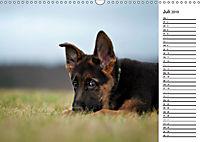 Schäferhund Yack wird erwachsenCH-Version (Wandkalender 2019 DIN A3 quer) - Produktdetailbild 7