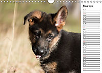 Schäferhund Yack wird erwachsenCH-Version (Wandkalender 2019 DIN A4 quer) - Produktdetailbild 3