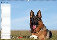 Schäferhunde SeelenhundeCH-Version (Wandkalender 2019 DIN A2 quer) - Produktdetailbild 8