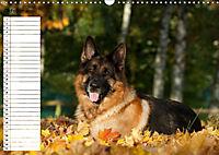Schäferhunde SeelenhundeCH-Version (Wandkalender 2019 DIN A3 quer) - Produktdetailbild 10