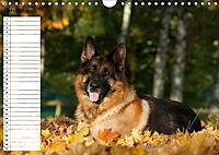 Schäferhunde SeelenhundeCH-Version (Wandkalender 2019 DIN A4 quer) - Produktdetailbild 10