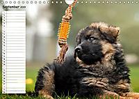 Schäferhunde SeelenhundeCH-Version (Wandkalender 2019 DIN A4 quer) - Produktdetailbild 9