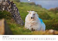 Schafe - Weich und wollig (Wandkalender 2019 DIN A2 quer) - Produktdetailbild 1