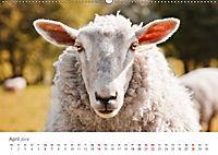 Schafe - Weich und wollig (Wandkalender 2019 DIN A2 quer) - Produktdetailbild 4