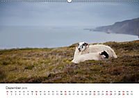 Schafe - Weich und wollig (Wandkalender 2019 DIN A2 quer) - Produktdetailbild 12