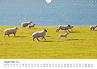 Schafe - Weich und wollig (Wandkalender 2019 DIN A4 quer) - Produktdetailbild 9