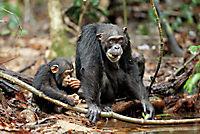Schimpansen - Produktdetailbild 8