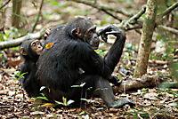 Schimpansen - Produktdetailbild 10