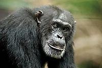 Schimpansen - Produktdetailbild 9