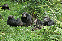 Schimpansen - Produktdetailbild 3