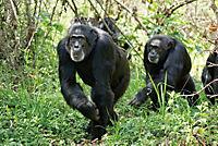 Schimpansen - Produktdetailbild 6