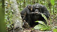 Schimpansen - Produktdetailbild 2