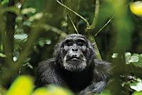Schimpansen - Produktdetailbild 5