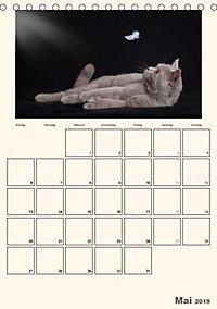 Schmusige Britisch Kurzhaar (Tischkalender 2019 DIN A5 hoch) - Produktdetailbild 11