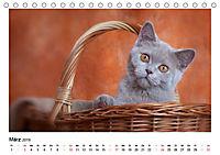 Schmusige Britisch Kurzhaar (Tischkalender 2019 DIN A5 quer) - Produktdetailbild 3