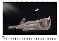 Schmusige Britisch Kurzhaar (Tischkalender 2019 DIN A5 quer) - Produktdetailbild 5