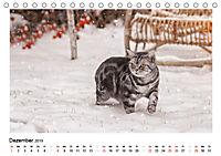 Schmusige Britisch Kurzhaar (Tischkalender 2019 DIN A5 quer) - Produktdetailbild 12