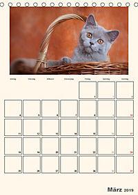 Schmusige Britisch Kurzhaar (Tischkalender 2019 DIN A5 hoch) - Produktdetailbild 3