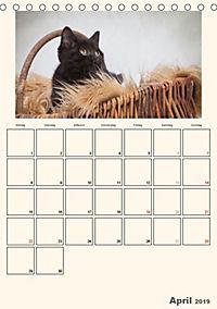 Schmusige Britisch Kurzhaar (Tischkalender 2019 DIN A5 hoch) - Produktdetailbild 4