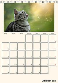 Schmusige Britisch Kurzhaar (Tischkalender 2019 DIN A5 hoch) - Produktdetailbild 8