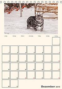 Schmusige Britisch Kurzhaar (Tischkalender 2019 DIN A5 hoch) - Produktdetailbild 12
