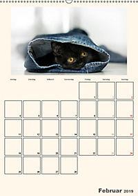 Schmusige Britisch Kurzhaar (Wandkalender 2019 DIN A2 hoch) - Produktdetailbild 2