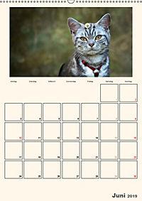 Schmusige Britisch Kurzhaar (Wandkalender 2019 DIN A2 hoch) - Produktdetailbild 6
