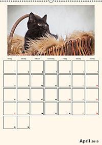 Schmusige Britisch Kurzhaar (Wandkalender 2019 DIN A2 hoch) - Produktdetailbild 4