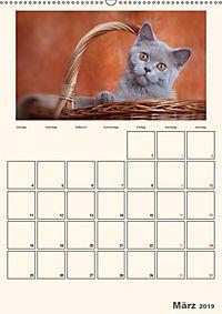 Schmusige Britisch Kurzhaar (Wandkalender 2019 DIN A2 hoch) - Produktdetailbild 3