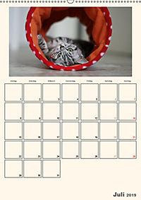 Schmusige Britisch Kurzhaar (Wandkalender 2019 DIN A2 hoch) - Produktdetailbild 7