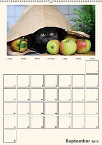 Schmusige Britisch Kurzhaar (Wandkalender 2019 DIN A2 hoch) - Produktdetailbild 9