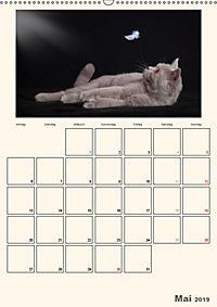 Schmusige Britisch Kurzhaar (Wandkalender 2019 DIN A2 hoch) - Produktdetailbild 5