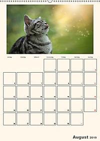 Schmusige Britisch Kurzhaar (Wandkalender 2019 DIN A2 hoch) - Produktdetailbild 8