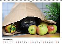 Schmusige Britisch Kurzhaar (Wandkalender 2019 DIN A3 quer) - Produktdetailbild 9