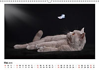 Schmusige Britisch Kurzhaar (Wandkalender 2019 DIN A3 quer) - Produktdetailbild 5