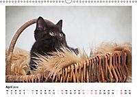 Schmusige Britisch Kurzhaar (Wandkalender 2019 DIN A3 quer) - Produktdetailbild 4