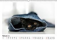 Schmusige Britisch Kurzhaar (Wandkalender 2019 DIN A3 quer) - Produktdetailbild 2