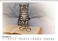 Schmusige Britisch Kurzhaar (Wandkalender 2019 DIN A3 quer) - Produktdetailbild 11