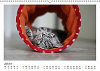 Schmusige Britisch Kurzhaar (Wandkalender 2019 DIN A3 quer) - Produktdetailbild 7
