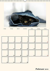 Schmusige Britisch Kurzhaar (Wandkalender 2019 DIN A3 hoch) - Produktdetailbild 2