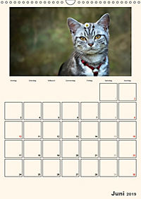 Schmusige Britisch Kurzhaar (Wandkalender 2019 DIN A3 hoch) - Produktdetailbild 6