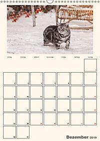 Schmusige Britisch Kurzhaar (Wandkalender 2019 DIN A3 hoch) - Produktdetailbild 12