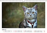 Schmusige Britisch Kurzhaar (Wandkalender 2019 DIN A4 quer) - Produktdetailbild 6
