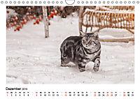 Schmusige Britisch Kurzhaar (Wandkalender 2019 DIN A4 quer) - Produktdetailbild 12