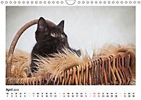 Schmusige Britisch Kurzhaar (Wandkalender 2019 DIN A4 quer) - Produktdetailbild 4