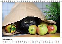 Schmusige Britisch Kurzhaar (Wandkalender 2019 DIN A4 quer) - Produktdetailbild 9