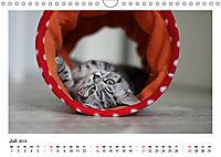Schmusige Britisch Kurzhaar (Wandkalender 2019 DIN A4 quer) - Produktdetailbild 7