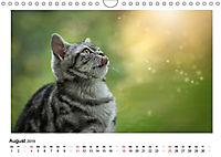 Schmusige Britisch Kurzhaar (Wandkalender 2019 DIN A4 quer) - Produktdetailbild 8