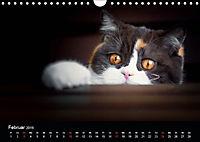 Schokoladige Britisch Kurzhaar Katzen (Wandkalender 2019 DIN A4 quer) - Produktdetailbild 2
